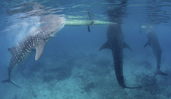 Friendly Three hungry whale sharks wait to be fed brine shrimp from local fishermen