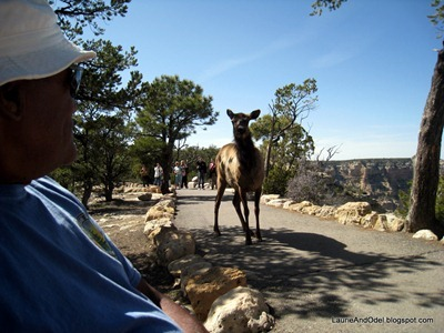 OK with Elk at Grand Canyon