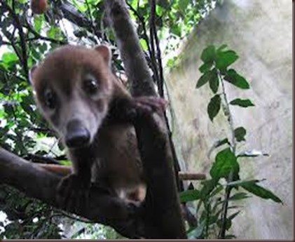 Amazing Pictures of Animals Coati Nasua. Alex (2)