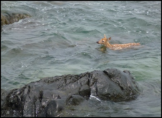 08i2- Marginal Way - fawn in ocean