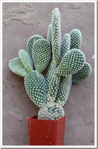Succulents And More: Repotting Bunny Ears