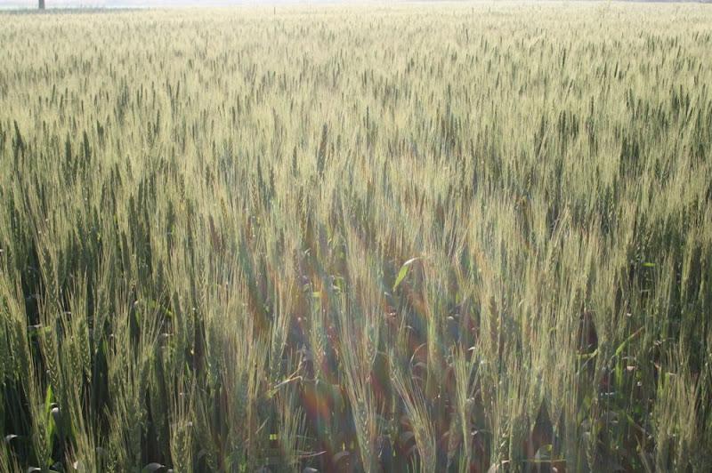 IMG_0891-Harvest time.JPG