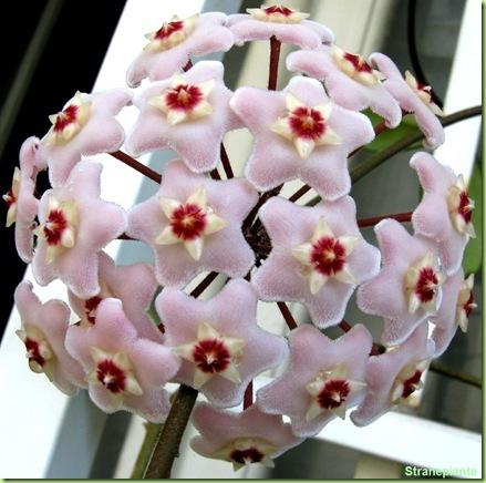 hoya carnosa fiori