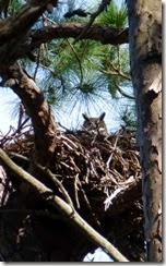 Nesting owl in Cedar Key