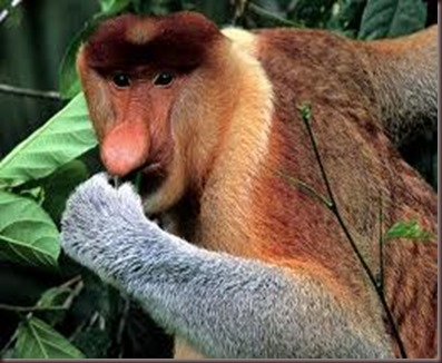 Amazing Pictures of Animals photo Nature exotic funny incredibel Zoo Proboscis monkey, long-nosed monkey, mammalia.Alex (7)