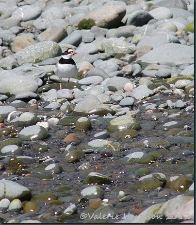 33-ringed-plover