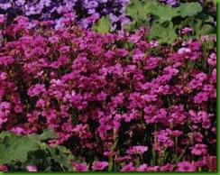 Silene coeli-rose