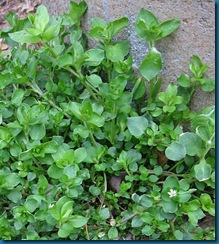 chickweed2