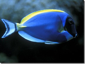 blue-fish-wallpapers_6581_1024