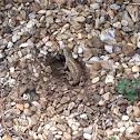 Prairie Lizard, Fence Lizard