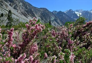desert peach on the east side of the Sierras