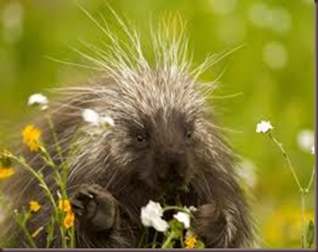 Amazing Pictures of Animals Porcupine (1)