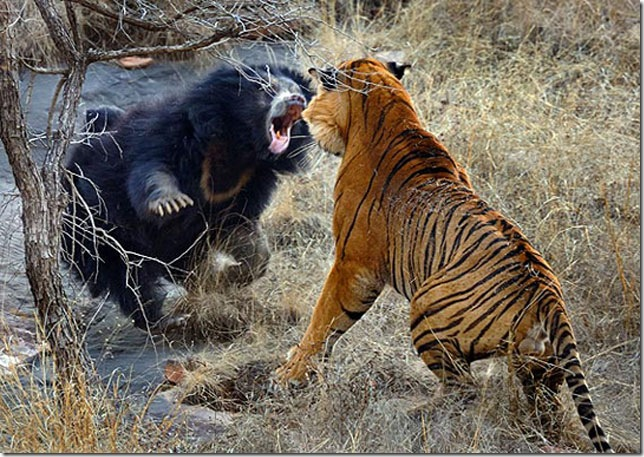 bear-fighting-tiger