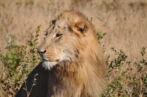 blog lion