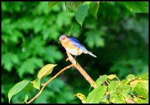 01f - birds - bluebird