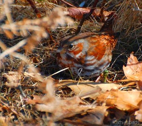 5. fox sparrow-kab