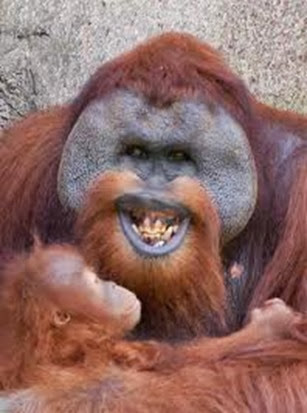 Amazing Pictures of Animals, Photo, Nature, Incredibel, Funny, Zoo, Bornean orangutan,Pongo pygmaeus, Primates, Alex (14)