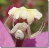 crab spider foto