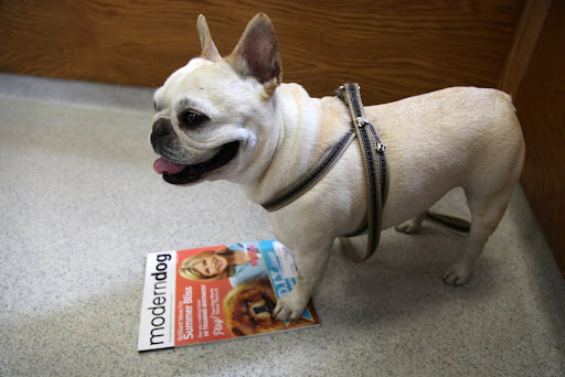 I'll stay in the waiting room and read this new issue of Modern Dog magazine until she's done.  G.K. looks great on the cover with Martha and I'm featured inside!
