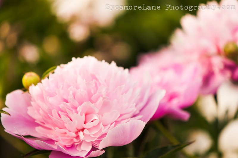 SycamoreLane Photography--peony