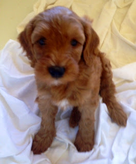 red with white markings labradoodle