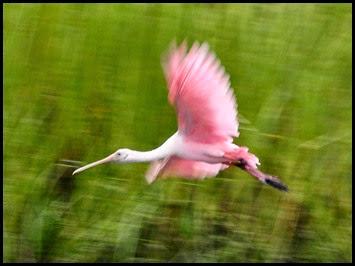 02j - birds - Roseate Spoonbill