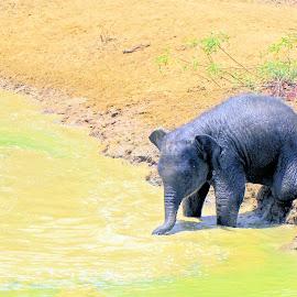 A drink of water by Jaliya Rasaputra - Animals Other Mammals