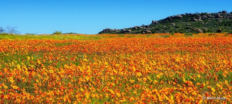 Namaqualand-flowers-1