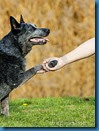 shakehand (dog)
