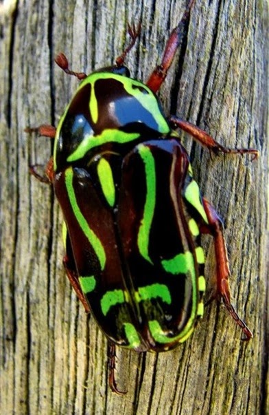 Amazing Pictures of Animals, Photo, Nature, Incredibel, Funny, Zoo, Eupoecila australasiae, fiddler beetle or rose chafer, Insecta, Alex (1)
