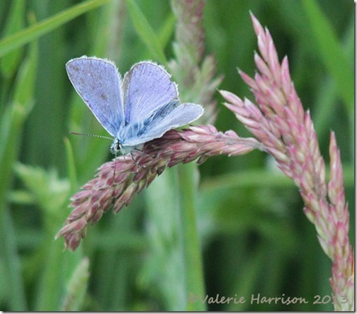 9-common-blue