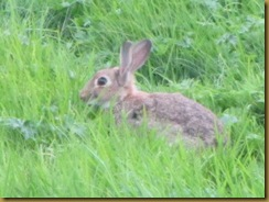 IMG_2201 Rabbit