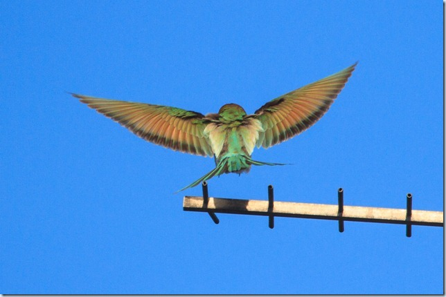 Seaburn_Bee-eater-5