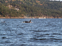 Luca_vanDuren_Two female orcas near San Juan.JPG