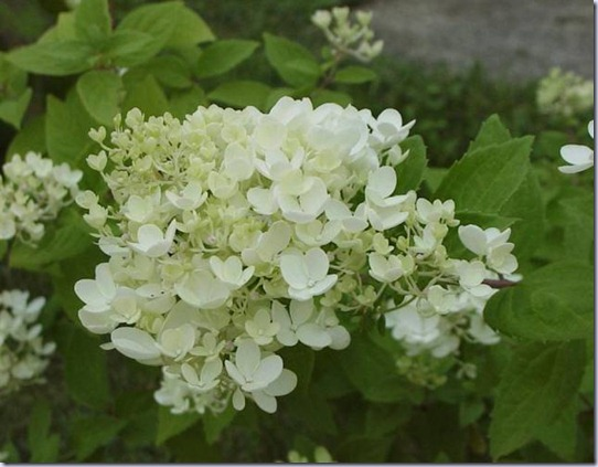 Hydrangea-pan-Dart-s-Little-Dot-Ghis-Medium-