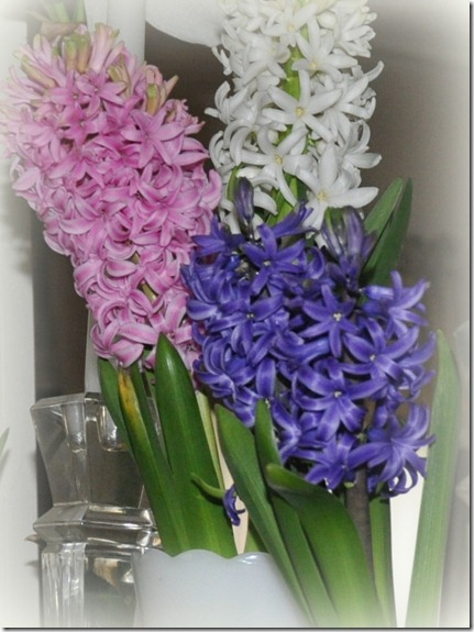 Hyacinths-blooming-now