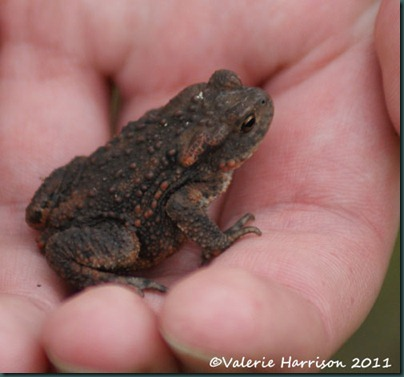 37-common-toad