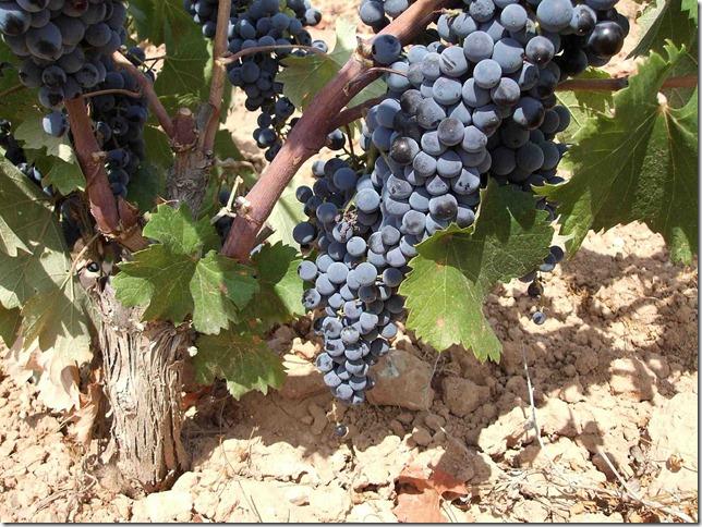 uva-monastrell-peninsula-vinhos-espanha