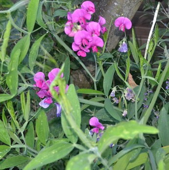 Everlasting Sweet Pea - Perennial Sweet Pea - Lathyrus latifolius 3