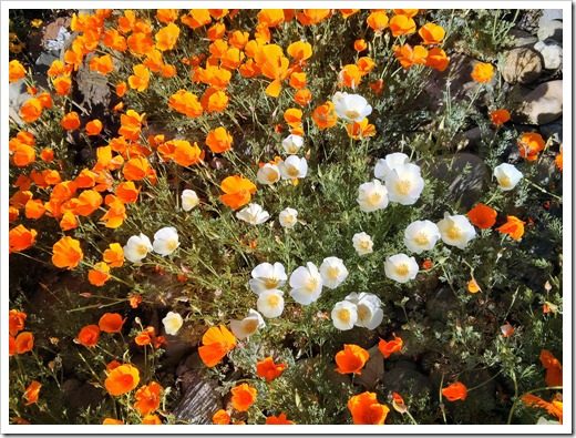 Speaking of California poppies…
