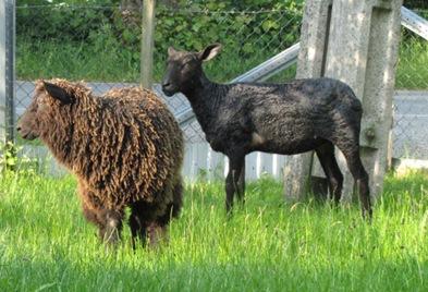 6 Februar-Lamm und Mutterschaf