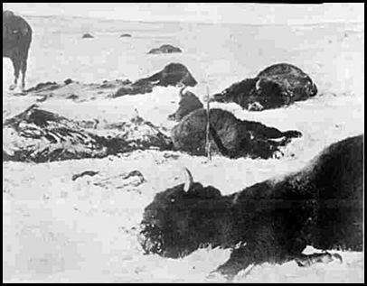 Le massacre des bisons en Amérique-14