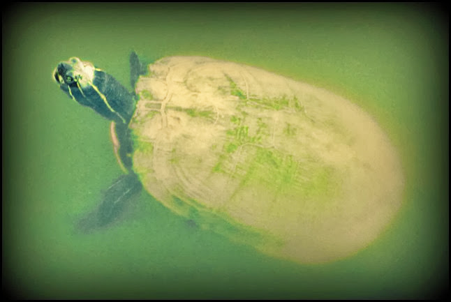 echo lake turtle