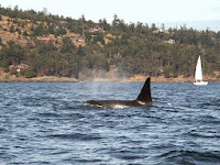 Luca_vanDuren_Young male orca Near San Juan Islands.JPG