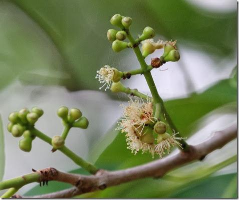 syzygium cumini flowers