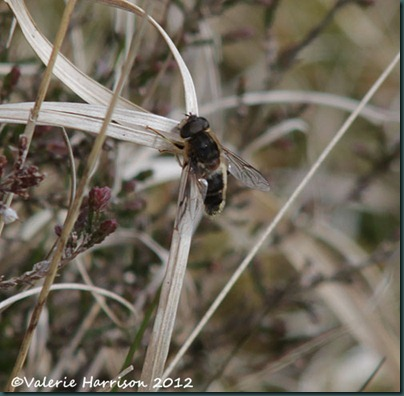 15-Drone Fly (Eristalis pertinax)