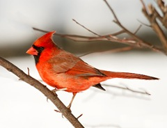 northern_cardinal_in_snow_2642