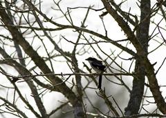 Loggerhead Shrike Waller TX