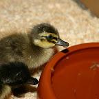 Geflügel - Enten Babys 2 Tage alt