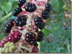 Oosterse Karmozijnbes (Phytolacca esculenta)